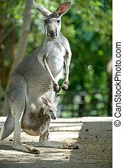 Kangaroo - Baby kangaroo in the pouch.