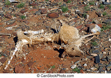 Kangaroo died in the desert