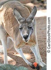 Kangaroo eating carr - Kangaroo with a funny face eating ...