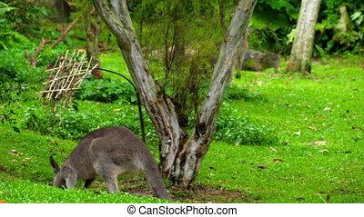 Kangaroo eating grass on a safari park - Wild grey kangaroo...