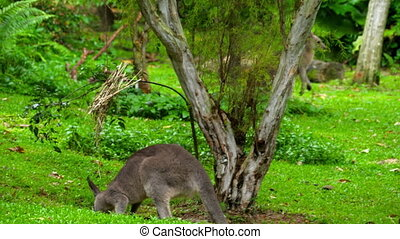 Kangaroo eating grass on a safari park - Wild grey kangaroo...