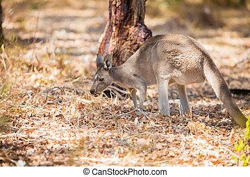 Kangaroo eating in the wild