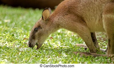 Kangaroo eats grass, Singapore Zoo