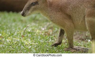 Kangaroo eats grass, Singapore Zoo