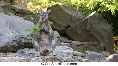 kangaroo feeding, baby looking from female bag - feeding...
