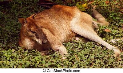 Kangaroo - close-up