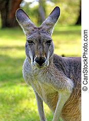Kangaroo in a natural habitat