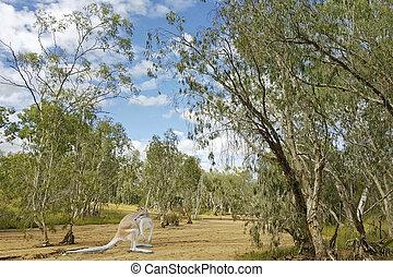 kangaroo in Australian bush