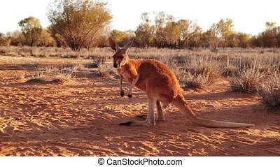 SLOW MOTION of Australian red kangaroo standing up at sunset. Australian Marsupial in Northern Territory, Red Center of Australia.