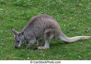Kangaroo in the wild
