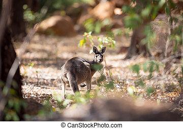 Kangaroo in the woods