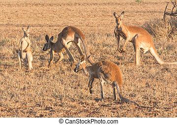 Kangaroo in Western Australia - Australian Wildlife
