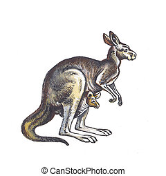 Kangaroo isolated on clean white background