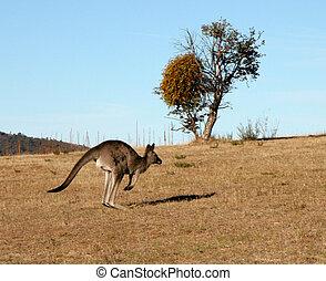 Kangaroo jumping in Australia