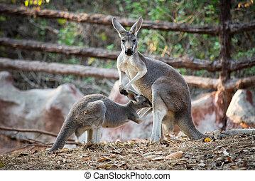 Kangaroo - kangaroo is the national symbol of Australia.