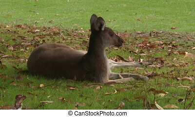 Kangaroo Laying In Grass - Steady, medium close up shot of a...