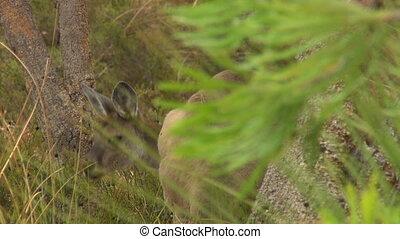 Kangaroo Looking Over Shoulder - Steady, medium close up...
