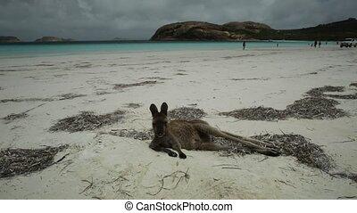 kangaroo lying at Lucky Bay - kangaroo lying on pristine and...