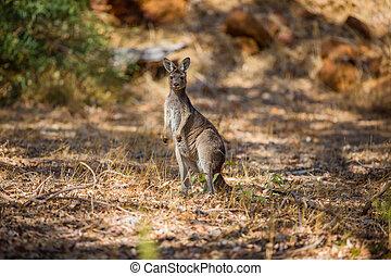 Kangaroo observing in the wild