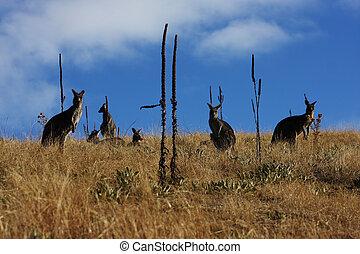 Kangaroo - Australian Kangaroo, roaming free in the outback...