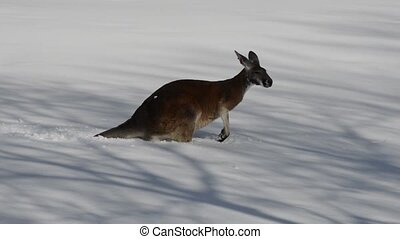 Kangaroo playing in the snow - Confused young Kangaroo...
