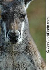 Kangaroo Portait - An Australian grey kangaroo stares back ...
