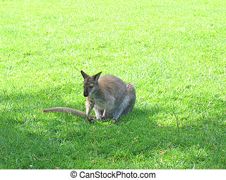 Kangaroo sitted in the grass, Cleres National Park, France...