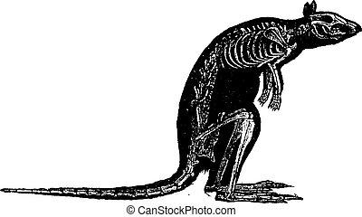 Kangaroo skeleton, vintage engraving.