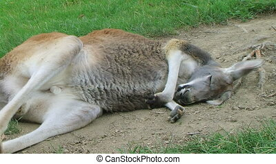Kangaroo Sleeping And Scratching - Kangaroo sleeping and...