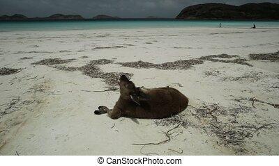 kangaroo standing at Lucky Bay - kangaroo standing at...