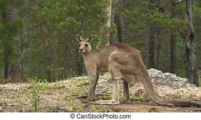 Kangaroo Standing In Wooded Area - Steady, wide shot of a...