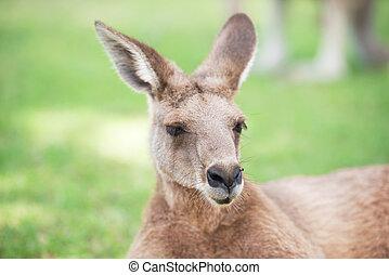 Kangaroo by itself.