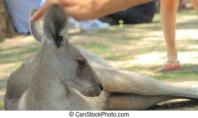 Kangaroo - Man petting a kangaroo in Gan Guru in Israel