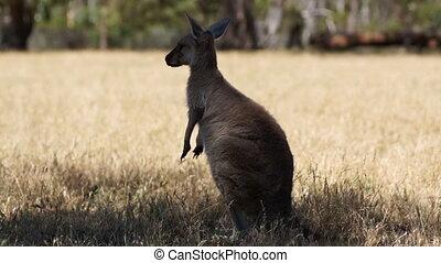 Kangaroo - Buzy kangaroo
