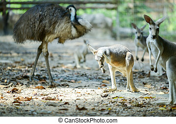 Kangaroo - The kangaroo is scratching their ear.