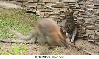 Kangaroo family in the Zoo.