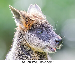 kangaroo:, wallaby, close-up, retrato