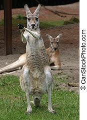 Applausing kangaroo