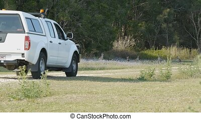 Kangaroos crossing dirt road