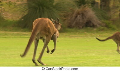 Kangaroos Hopping Away From Golf Ball - Handheld, following,...