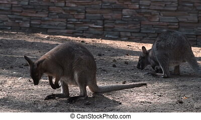 Kangaroos in outdoor aviary - Kangaroos looking for some...