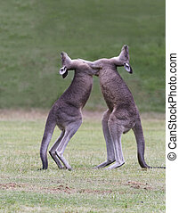 Kangaroos Spar - Two, wild kangaroos rear up and spar....