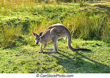 Kangarros in wild nature