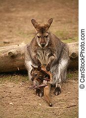 kangoeroe, met, baby