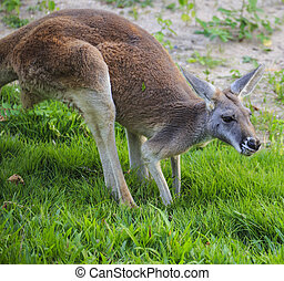 kangoeroes