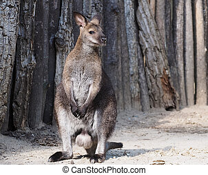Kangoroo full size standing male looking left close-up