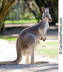 kangourou, femme, rouges