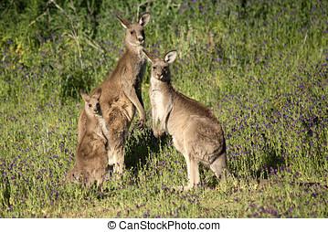 kangourou, gris, famille, oriental