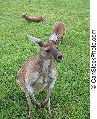 kangourous