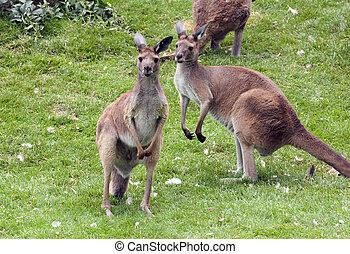 kangourous, rouges